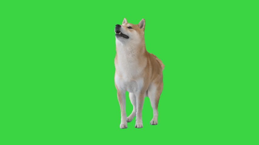 Red shiba inu sitting down on a Green Screen, Chroma Key.