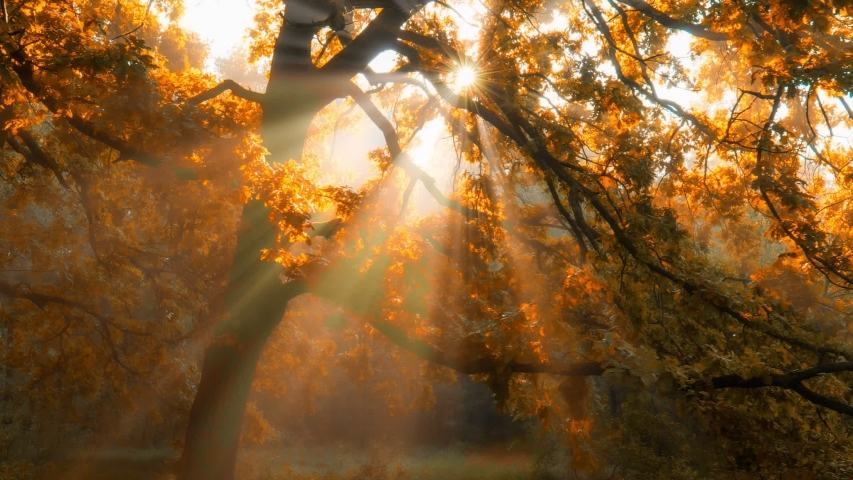 Morning in autumn forest. Sun rays break through the golden and orange foliage of magnificent autumn tree. Magical autumn landscape. | Shutterstock HD Video #1056910250