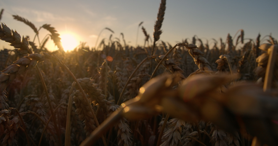 Golden Sunset Over Wheat Field. Ears of Golden Wheat Close Up. Beautiful Nature Sunset Landscape. Rural Scenery Under Shining Sunlight. Slow Motion Closeup. Landscape Summer Field Sun Sky Nature. Royalty-Free Stock Footage #1056916709