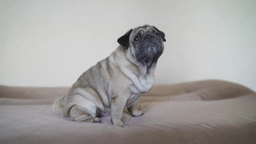 Adorable pug dog standing on floor at home, 3 year old ,looking at the camera. The Pulcherrimus Ga Bo dog is standing on the sofa. The pug is standing on the couch. | Shutterstock HD Video #1056920144
