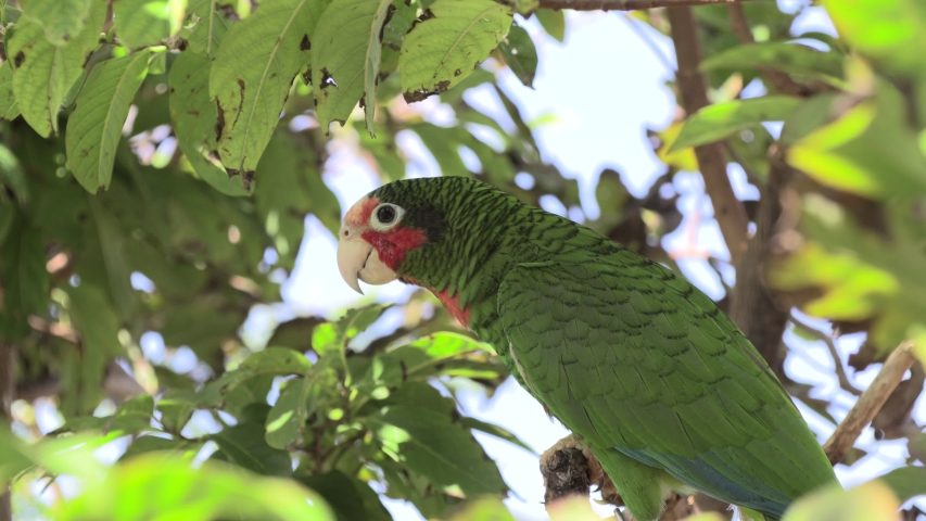 Cayman Islands Parrot or Cuban AmazonMoving Away Leaving Native Species | Shutterstock HD Video #1056923294