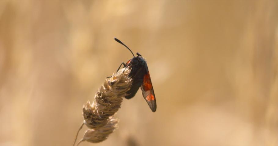 Six spot Burnet moth insect on tall wild flower grass flying away Zygaena filipendulae | Shutterstock HD Video #1056926876