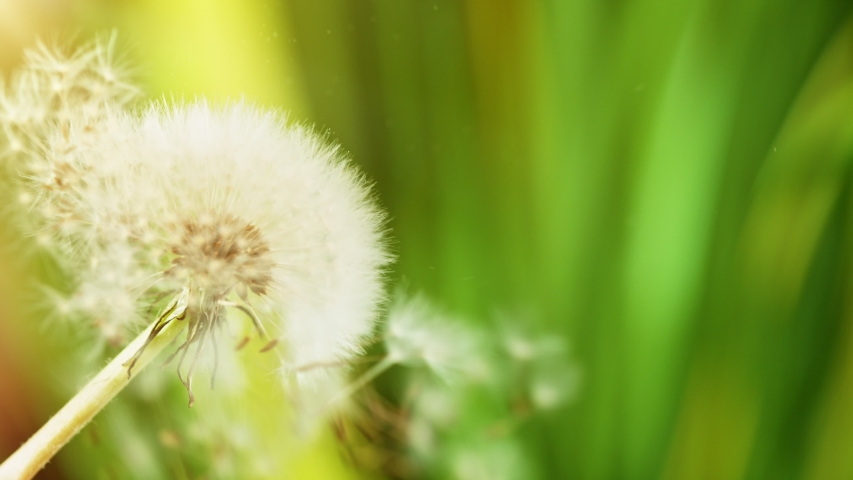 Macro Shot of Dandelion being blown in super slow motion. Filmed on high speed cinematic camera at 1000 fps.