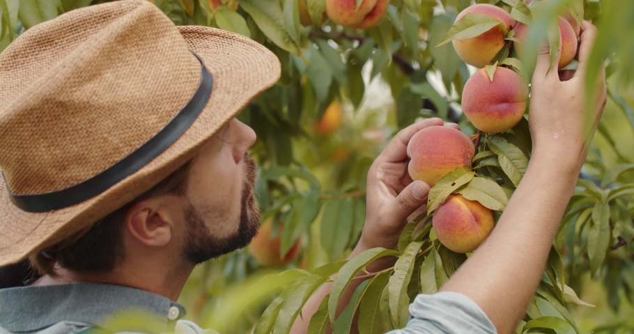 Close up of professional farmer in hat working at green garden and checking young peaches. Bearded man cultivating organic fruits during summer time.