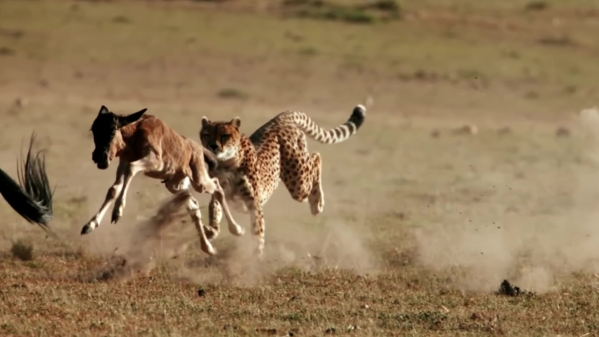Stunning Footage Of Cheetah Chasing Its Prey In The Wild Slow Motion Royalty-Free Stock Footage #1056976469
