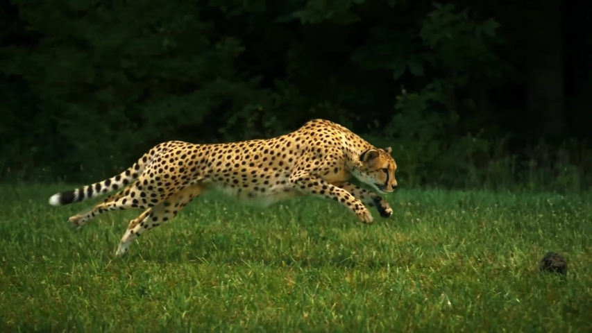 Epic View Of Cheetah Running Trying To Catch Rabbit Super Slow Motion | Shutterstock HD Video #1056976472