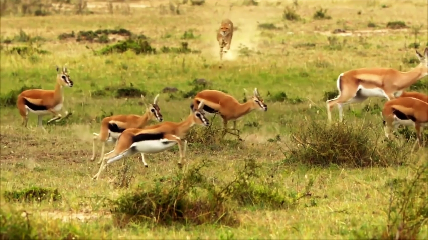Amazing Footage Of Cheetah Chasing Gazelles Royalty-Free Stock Footage #1056976481