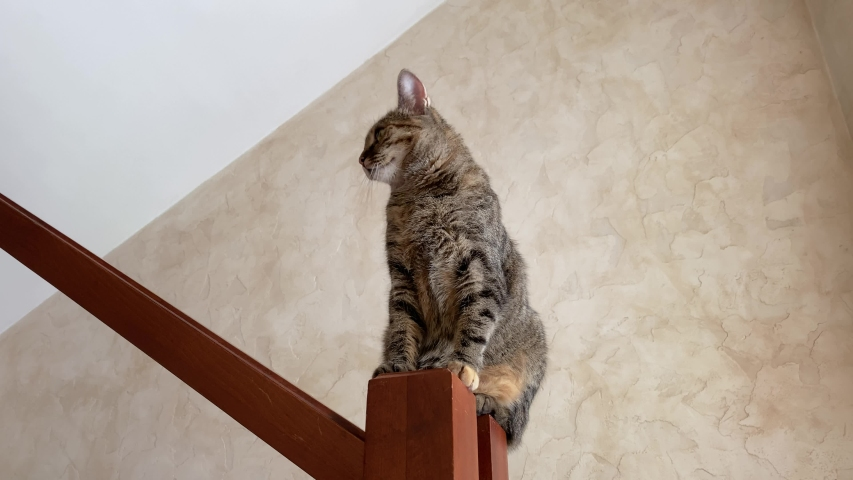 Funny affectionate cat sits on wooden railing of the stairs at home, licks and fools around almost falling down, bottom shooting. Caring for naughty pets.