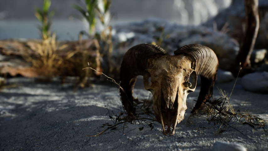 Skull of a dead ram in the desert Royalty-Free Stock Footage #1056994319