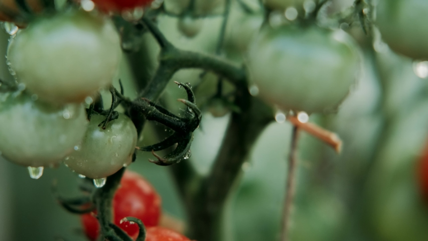 Beautiful red ripe tomatoes grown in a greenhouse, drops of water. Raw organic vegetables food fresh tomato cherry. Detox diet fresh tomato. Organic harvest in garden, farming, agriculture