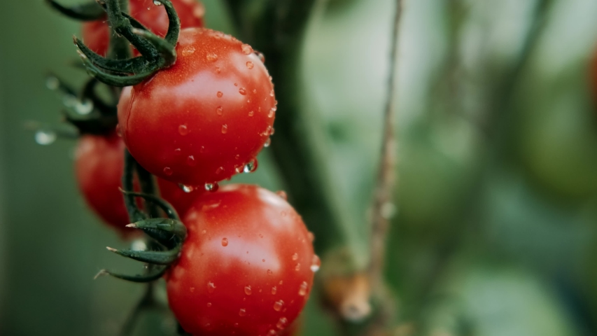 Beautiful red ripe tomatoes grown in a greenhouse, drops of water. Raw organic vegetables food fresh tomato cherry. Detox diet fresh tomato. Organic harvest in garden, farming, agriculture   Shutterstock HD Video #1057021337