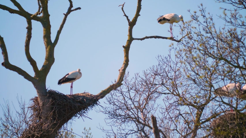 Storks in a natural environment, perched in a tree, in their nest,