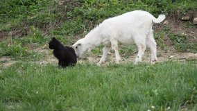 Baby goat and black cat in the garden in HD VIDEO. Free-range nanny goat on an organic farm, freely grazing in an outlet and curiously snuffling black cat.