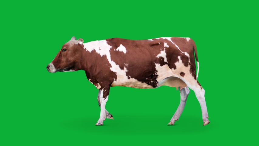 Real Cow 4K animation on Green screen background ( Endless Loop ) - Realistic Cow walking on Chroma key