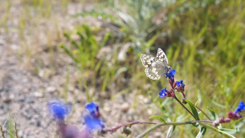 Beautiful butterfly sits on blue purple wildflower, drinking nectar. Slow motion. Cappadocia, turkey   Shutterstock HD Video #1057061180