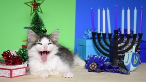 HD video of an adorable gray and white kitten laying between Christmas and Hanukkah scenes. Yawns, looks at Hanukkah set up then looks at viewer. Chrismukkah