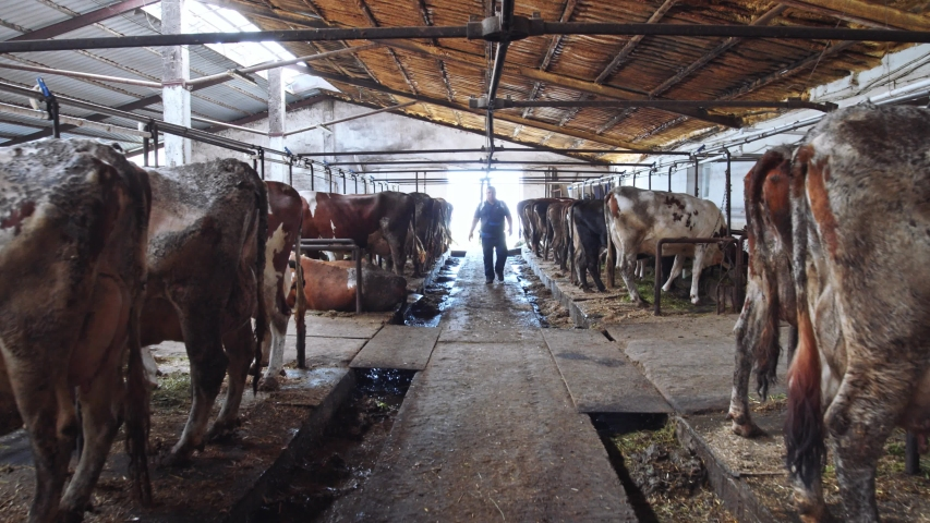 Mature male farmer in walking along cows standing in cowshed barn eating grass. Milky farm worker adult man checking work. Dairy farmers business insurance. Husbandry practices. 4K