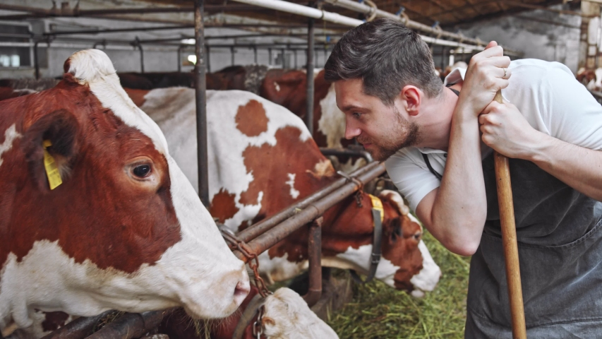 Young smiling successful dairy farmer looking at beautiful brown cow closeup checking animal health on village farm on sunny background. High quality of ecologically friendly milk producing system. 4K