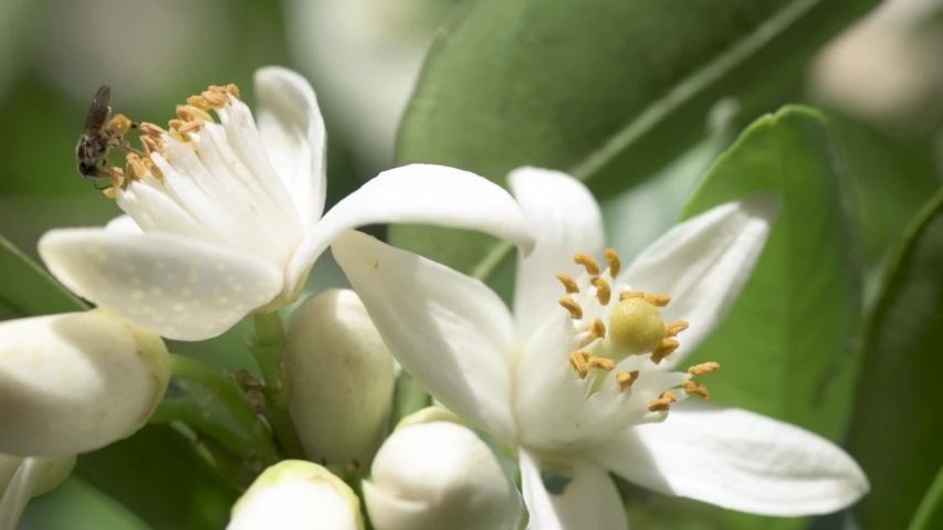 Pollinating bees in orchards of flowering orange trees.