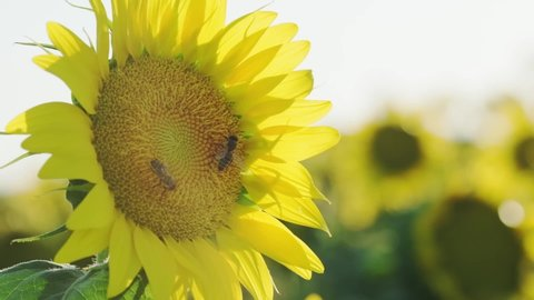 Close up shot of a sunflower with two honey bees pollinating on it in a sunflower farm.