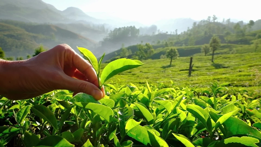 Women hand picking up tea leaves at the tea plantation in Munnar, Kerala state, India. Fresh green tea leaves close up on tea plantations in Munnar, Kerala state, India.  Royalty-Free Stock Footage #1057150247