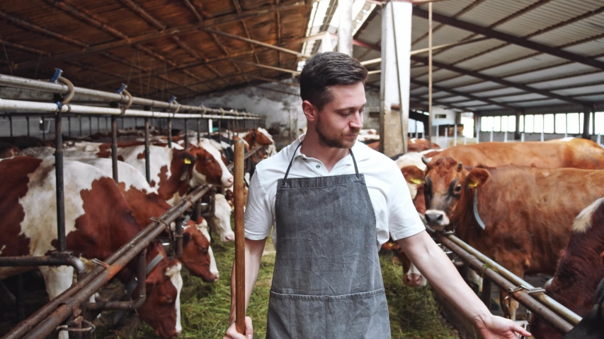 Young handsome bearded farmer man walking along cowshed barn checking work. Brown cows eating grass on background. Farming business. Countryside area. Organic food delivery. Formal clothing. 4K