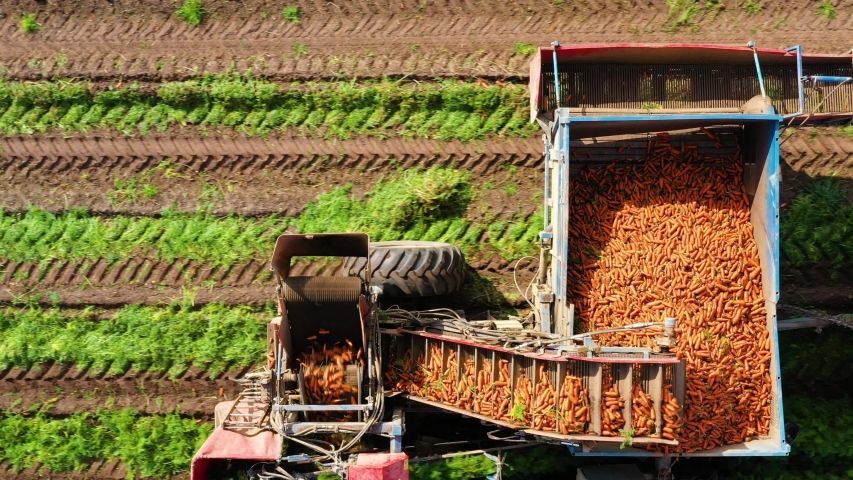 Aerial view of Carrot harvesting using mechanized harvesting equipment on a agricultural land. Royalty-Free Stock Footage #1057165189