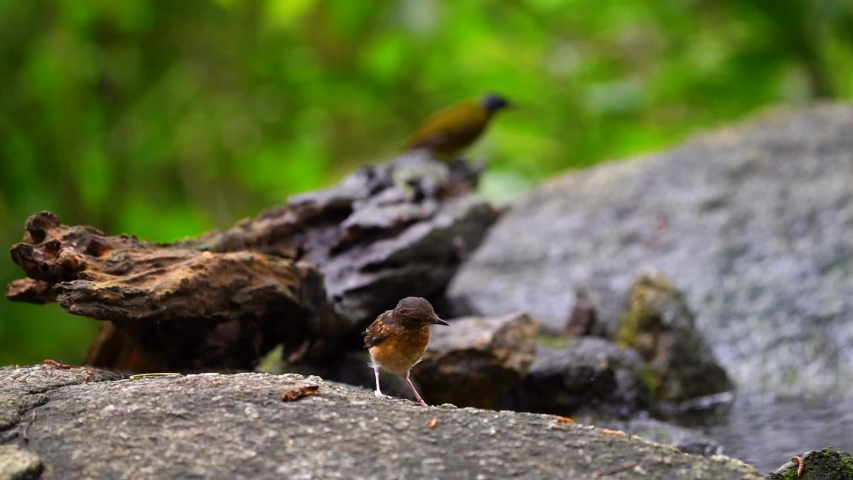 Baby White-rumped shama on rock in forest.