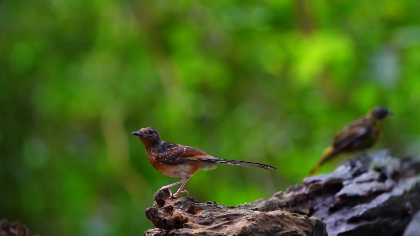 Baby White-rumped shama on stump in forest.