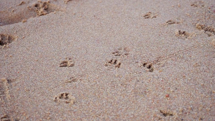 The footprints of a small dog and sea waves on the sandy beach. Summer walk along the Bay | Shutterstock HD Video #1057216528