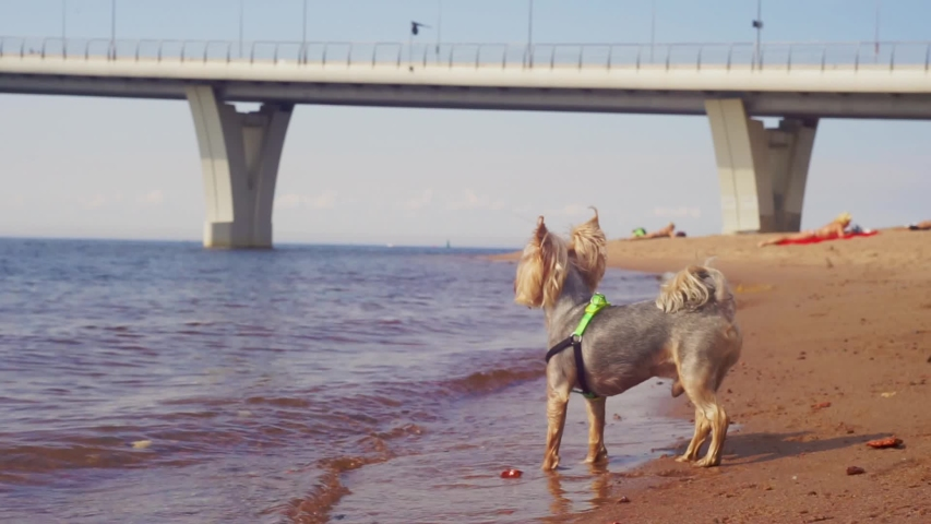The Yorkshire Terrier stands on the surf line, afraid of water and barks. Summer walk along the Bay | Shutterstock HD Video #1057216633