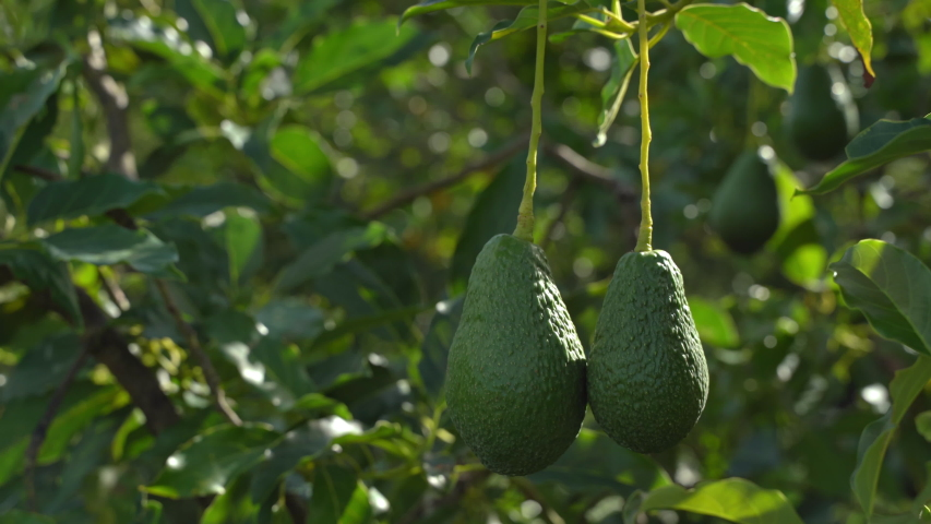 Close up of avocado fruits hanging on tree branch on a sunny day, Ttropical fruits of Thailand the avocado swayed in the green  Royalty-Free Stock Footage #1057217722
