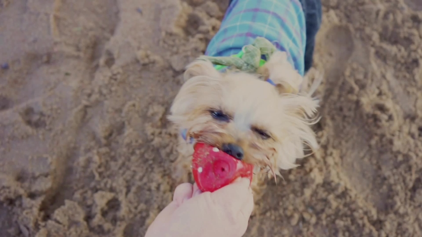 The game of the owner with a Yorkshire Terrier in the tug of the ball. Summer walk along the Bay | Shutterstock HD Video #1057218451