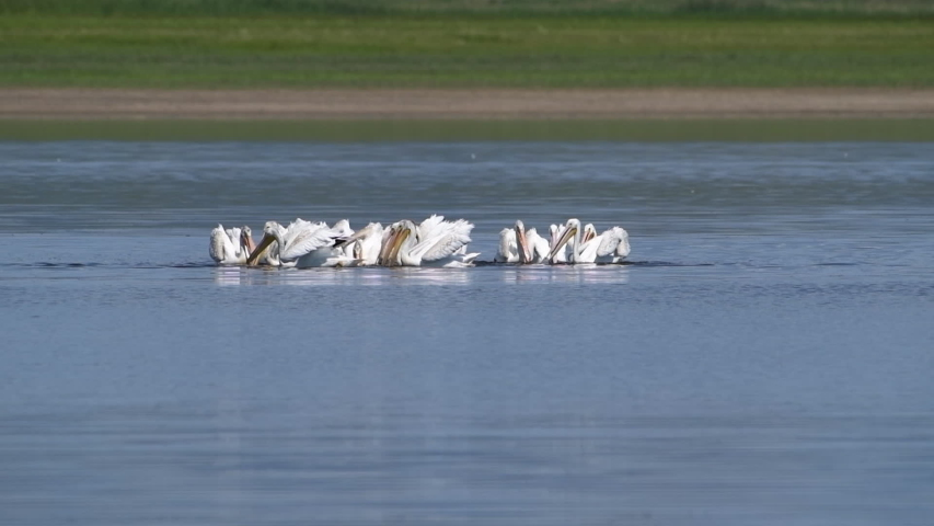 American White pelicans swim around while feeding together on aquatic creatures in Lake 13 at Maxwell National Wildlife Refuge in the United States. | Shutterstock HD Video #1057221772