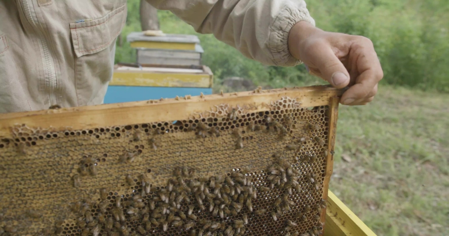 The beekeeper pulls out frames with honeycomb honey. A man checks frames with honey. Honey harvest. Beekeeper gets frame honeycomb from hive, honey, bees, apiary. | Shutterstock HD Video #1057226653