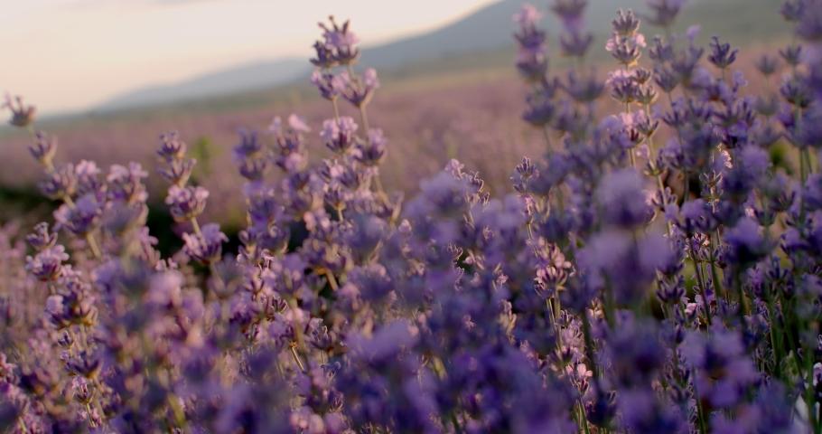 Honey Bee on fragrant Lavender flower. Honeybee working on Growing Lavender Flowers field. Slow motion. Blooming Violet fragrant lavender flowers on a field. 4K Royalty-Free Stock Footage #1057228354
