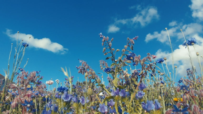 This pretty natural background movie of blue and purple wildflowers and grasses, including cornflowers and hedge woundwort is set against a summery blue sky with fluffy white clouds which move.