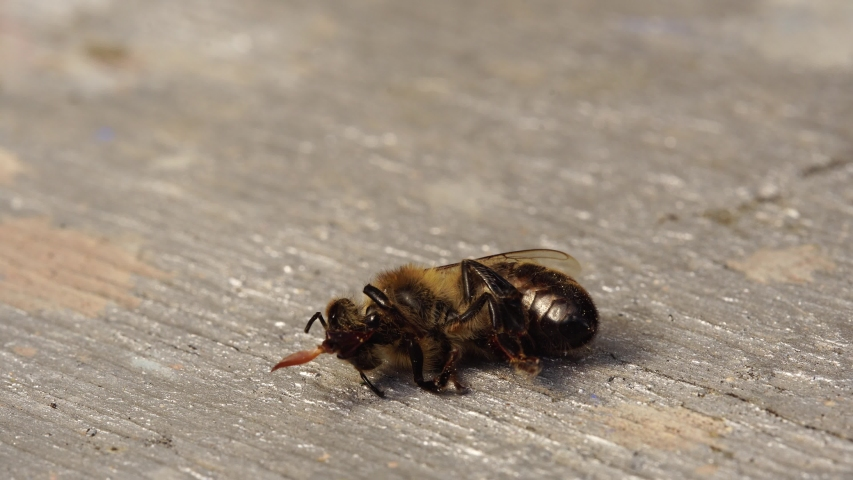 The bee is dying. A dead bee macro. The death of honey bees and environmental pollution by pesticides: The honey bees as biological indicators. Beekeeping (or apiculture). Bee colony in hive Royalty-Free Stock Footage #1057270372