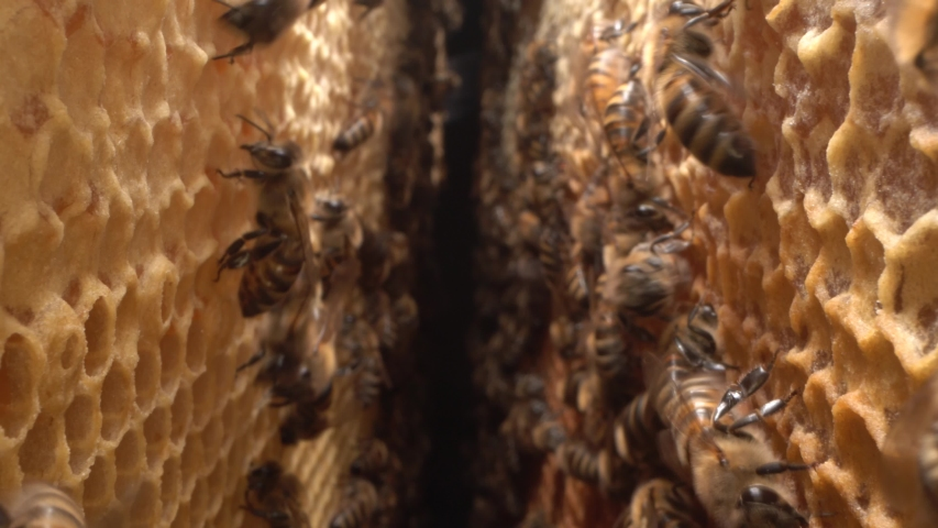 Bees inside the beehive. Honeycomb close up. Bee colony in hive macro. Honey in combs. Organic Beekeeping (or apiculture) Royalty-Free Stock Footage #1057270387