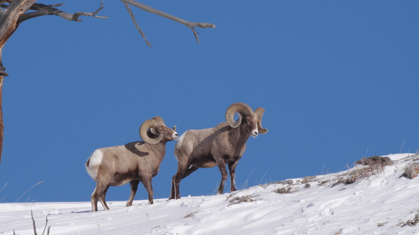high frame rate side view clip of one of two bighorn sheep rams turning to look at camera at yellowstone national park in wyoming, usa on a sunny winter day Royalty-Free Stock Footage #1057316404