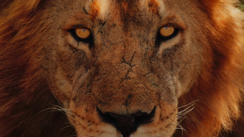 Amazing Epic Close Up Of Lion Face Royalty-Free Stock Footage #1057382281