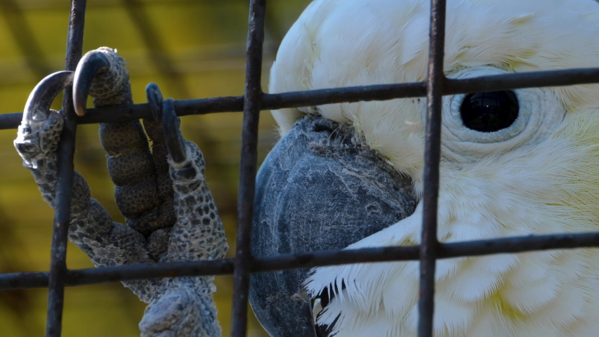 Cockatoo parrot- close up of head | Shutterstock HD Video #1057397131