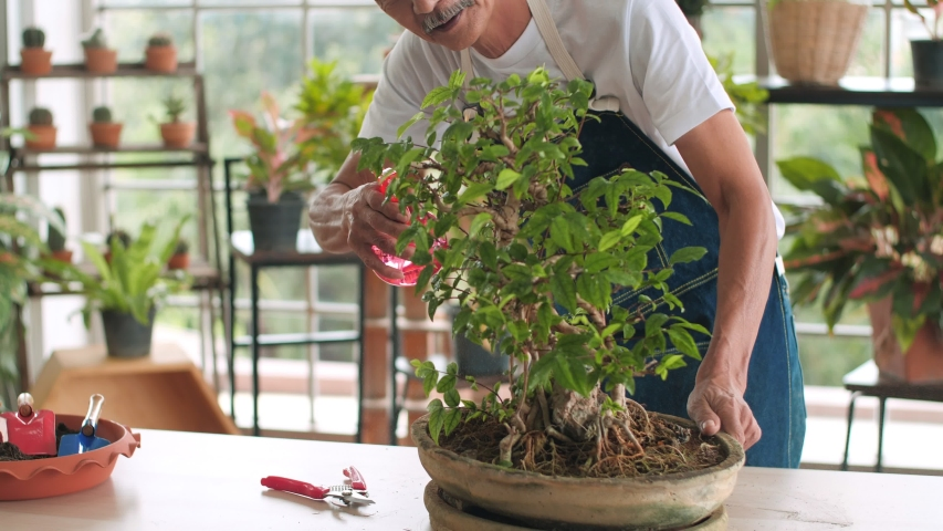 Happy senior elderly Asian man sprayed plants Bonsai tree in pots. Old man caring for house plant taking care of plants at home, spraying a plant with pure water from a spray bottle. | Shutterstock HD Video #1057404220