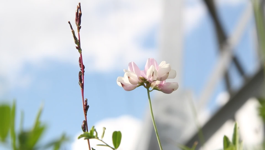 White and pink flower swaying in the wind against a blue sky with white clouds | Shutterstock HD Video #1057407244