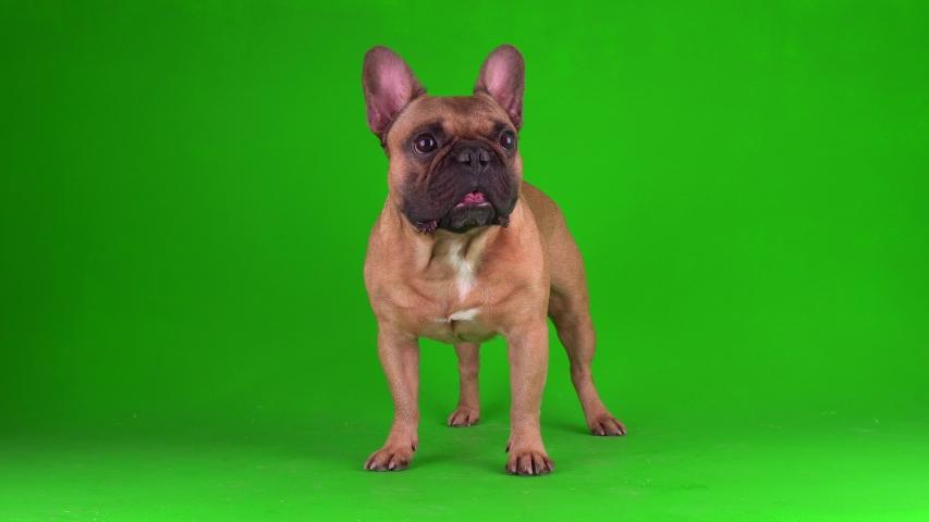 Dog french bulldog puppy on a green background screen 4K video chromakey.