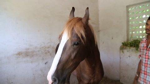 Marwari Horse #marwarihorses #mare #nukrahorse #nukra #marwari  #marwarihorse #horselover #horse #horsepunjab #horseworld in 2020 | Marwari  horses, Horse breeds, Horses