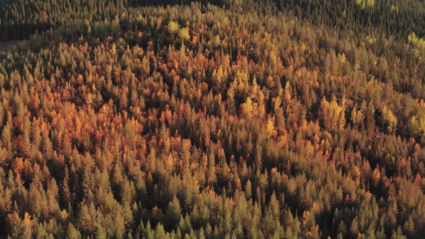 Aerial of a colorful pine tree forest in northern Sweden during the seasonal change from summer to fall (autumn). | Shutterstock HD Video #1057442200