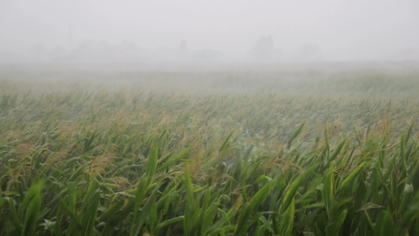 Summer storm hits the cornfield. Poor visibility due to heavy rain, bad weather condition with poor visibility and strong wind
