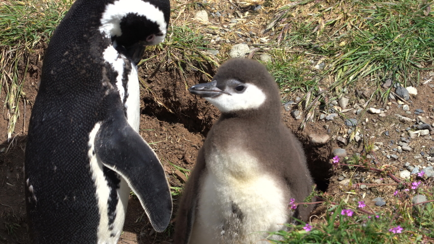 Close Up of Magellanic Penguin and Chick in Nature Reserve in Patagonia, South America. Endangered Animal in Nesting Migration