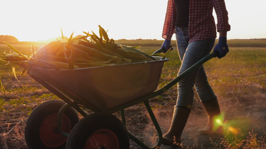 Girl farmer in rubber boots rolls a wheelbarrow full of corn crop along the field at sunset, slow-motion Royalty-Free Stock Footage #1057457119